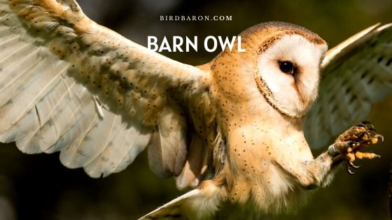 Barn Owl – Food | Lifespan | Flying | Habitat | Facts