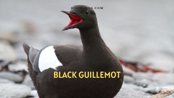 black guillemot (Cepphus grylle) Description