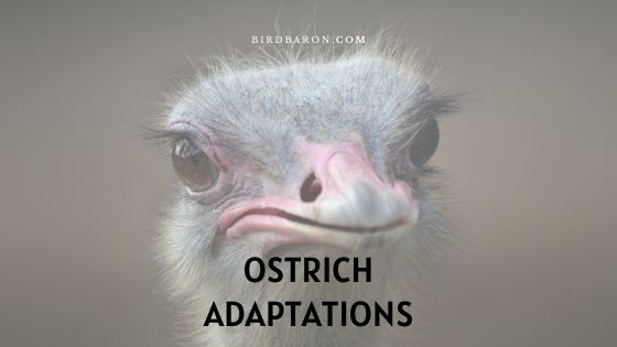 Ostrich Adaptations – How Do Ostriches Survive?