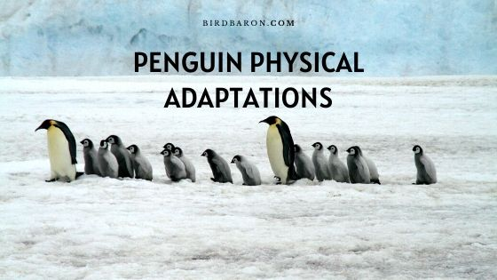 Penguin Physical Adaptations –  How do They Survive?