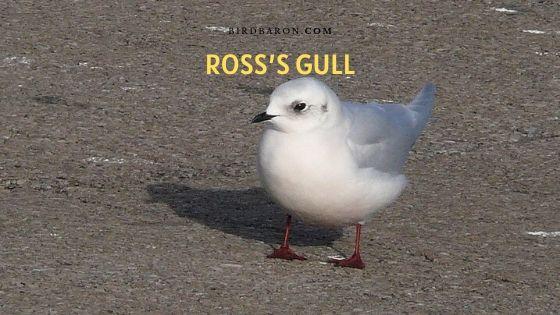 Ross's Gull (Rhodostethia rosea) Description