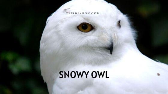 Snowy Owl – Bird | Size | Fun Facts | Adaptation | Baby