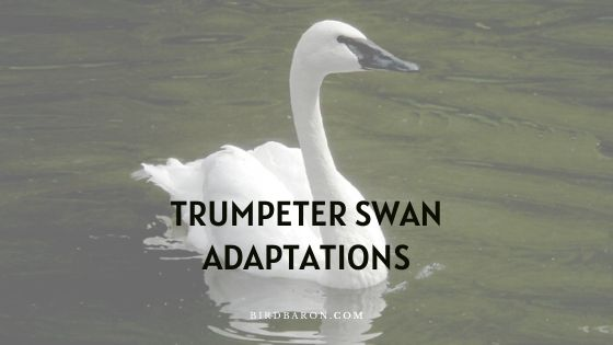 Trumpeter Swan Adaptations – How Do They Survive?