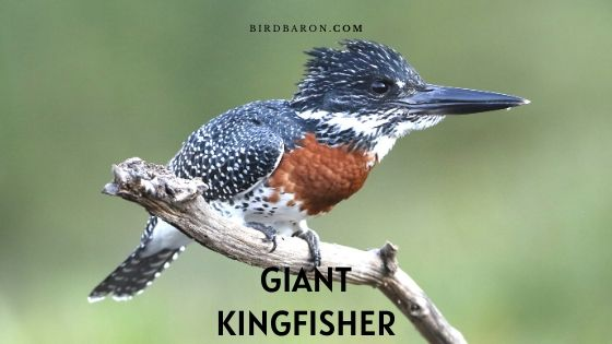 Giant Kingfisher Facts | Description | Call | Size | Sound
