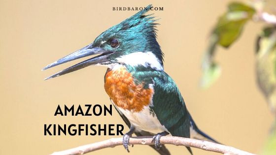 Amazon Kingfisher Bird – Profile | Traits | Facts | Habitat