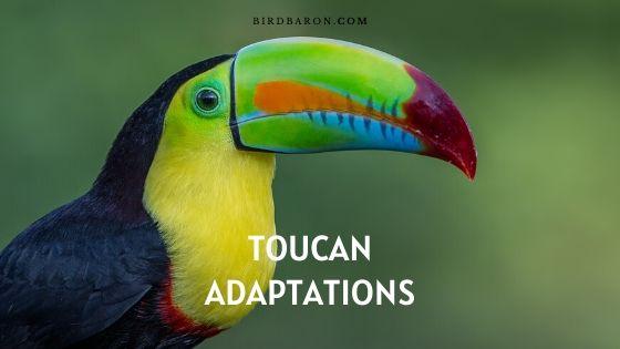 Toucan Adaptations – How Do Toucans Survive