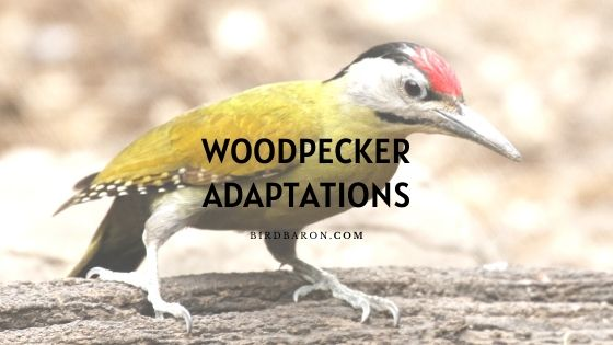 Woodpecker Adaptations – How Do They Survive