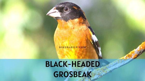 Black-headed Grosbeak Description and Facts