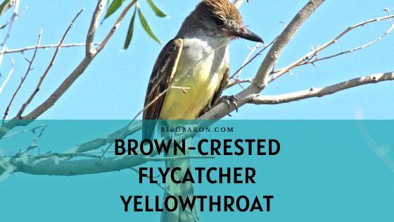 Brown-crested Flycatcher Bird – Fact | Call | Nest | Song