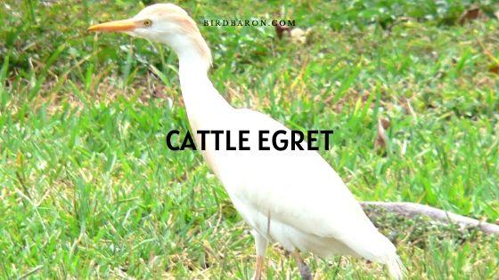 Cattle Egret (Bubulcus ibis) Bird – Profile | Description