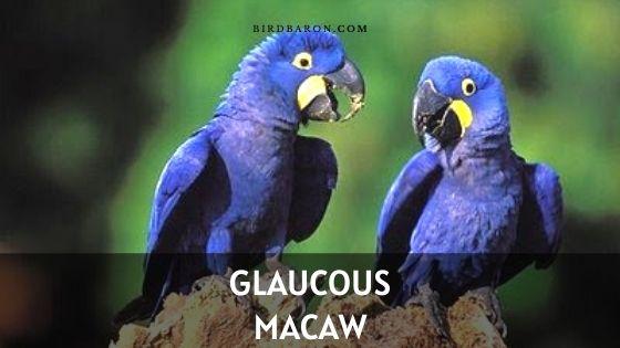 Glaucous Macaw (Anodorhynchus glaucus) Profile