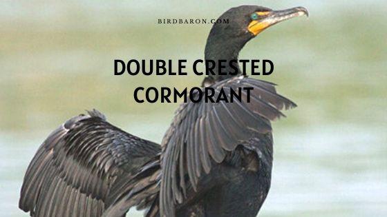 Double Crested Cormorant (Phalacrocorax auritus) Profile