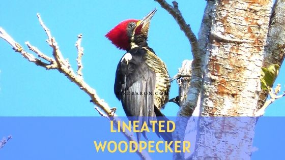 Lineated Woodpecker – Description | Call | Size | Nest