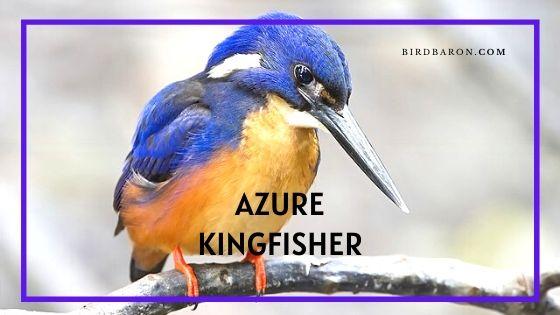 Azure Kingfisher Bird – Profile | Facts | Traits | Habitat | Diet