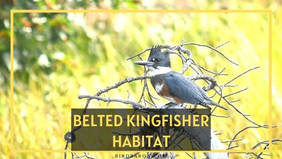 Belted Kingfisher Habitat – Where Does A Belted Kingfisher Live?