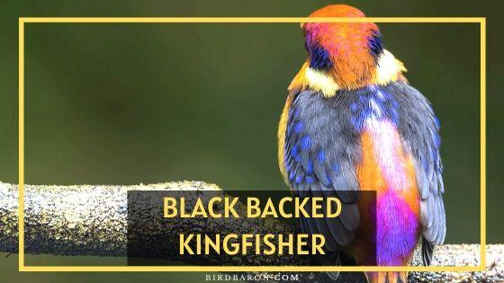 Black Backed Kingfisher Bird – Profile | Facts