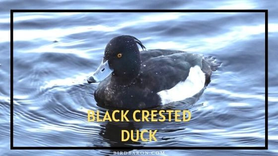 Black Crested Duck – Profile | Eggs | Characteristics