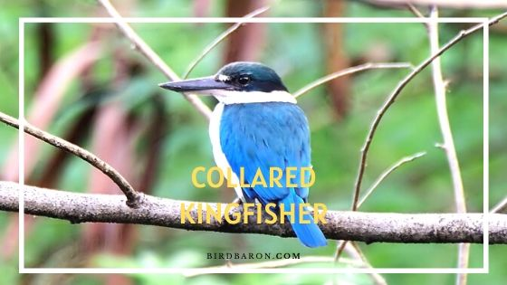 Collared Kingfisher – Description | Facts | Diet | Sound