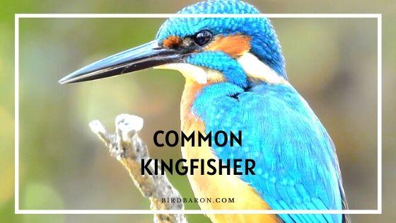 Common Kingfisher Bird – Facts | Description | Diet