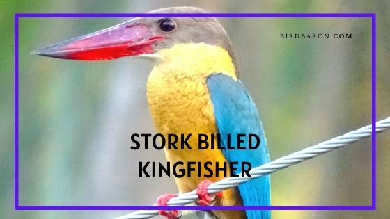 Stork-billed Kingfisher Bird – Profile | Facts | Description