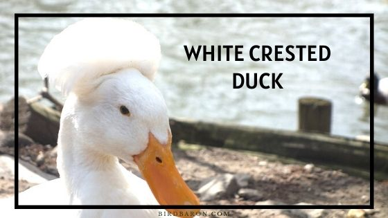 White Crested Duck – Profile | Personality | Facts | Care