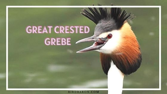 Great Crested Grebe – Facts | Profile | Call | Eggs | Size