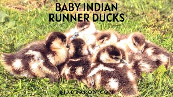 Baby Indian Runner Ducks – Facts | Eat | look Like | Feed