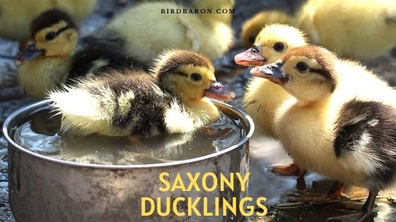 Saxony Ducklings – History | Care | Traits | Behavior | Facts