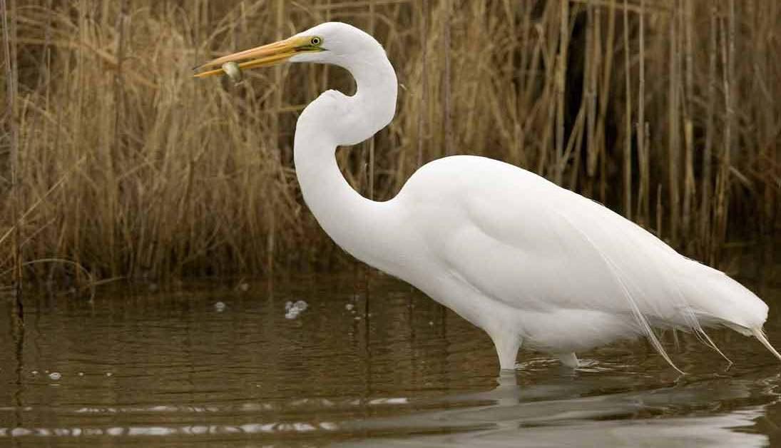 Great Egret – Profile | Habitat | Facts | Flight | Nest | Call