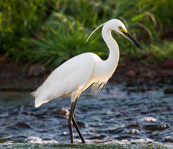 Little Egret | Small Egret | Egretta Garzetta – Profile | Facts