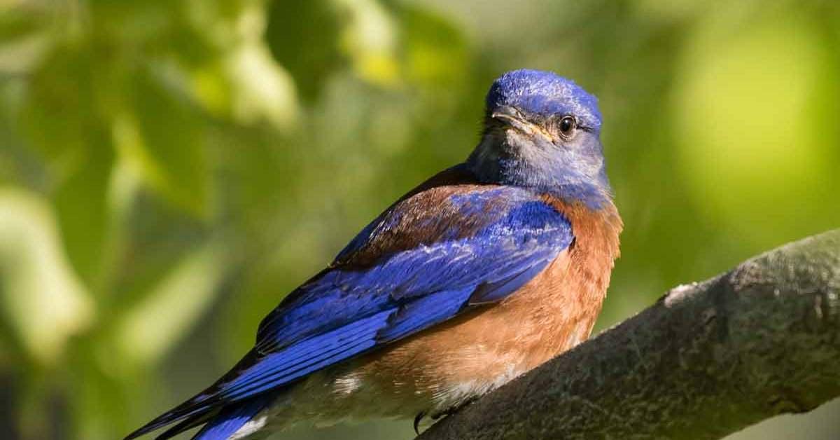 Eastern Bluebird – Song | Facts | Habitat | Migration | Diet