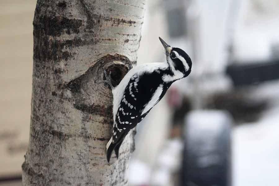 Hairy Woodpecker – Profile | Range | Sounds | Diet | Feathers | Facts