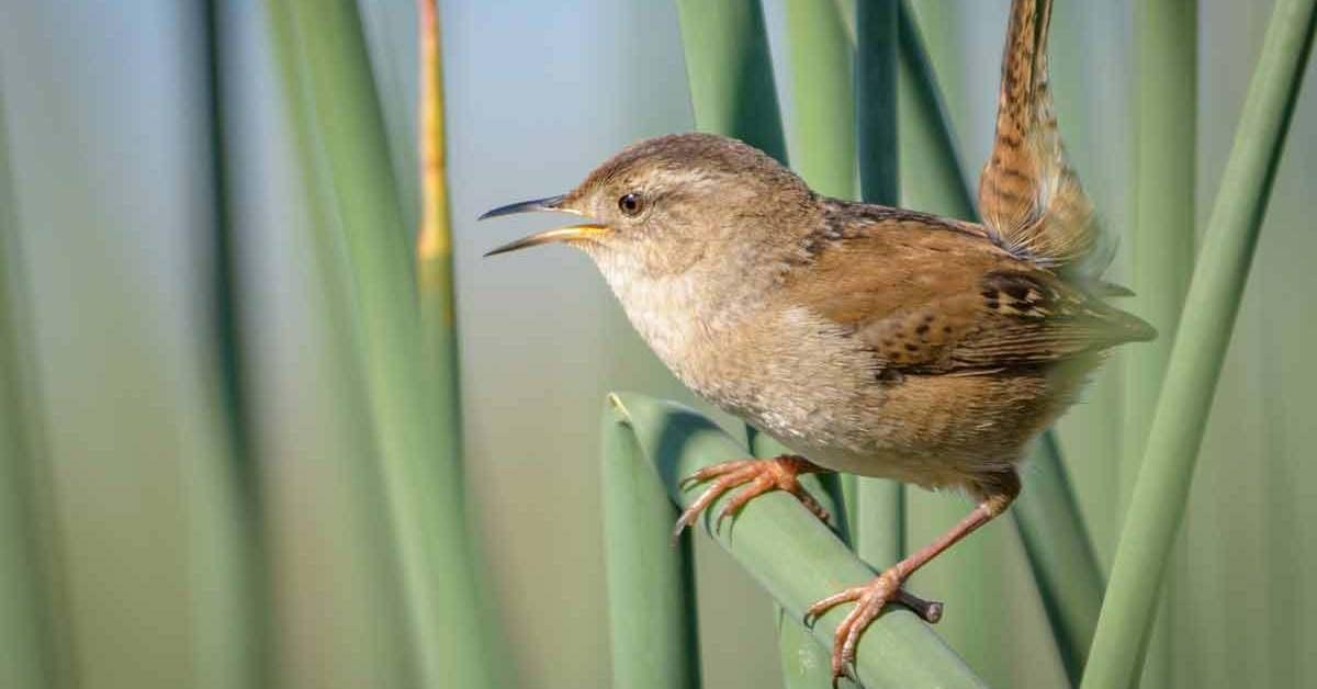Marsh Wren – Song | Nest | Diet | Migration | Predators | Facts