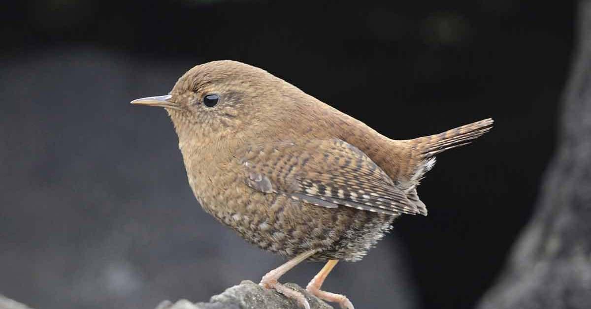 Pacific Wren – Call | Nest | Range | Size | Facts | Traits