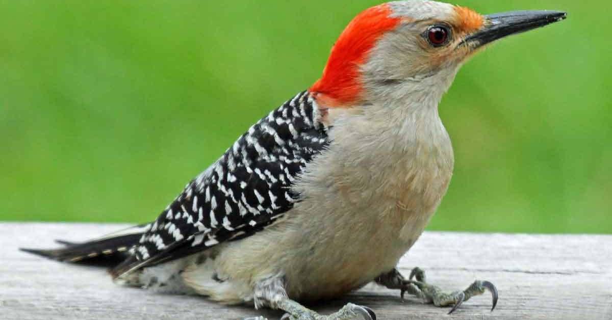 Red-bellied Woodpecker – Sound | Diet | Habitat | Facts | Size