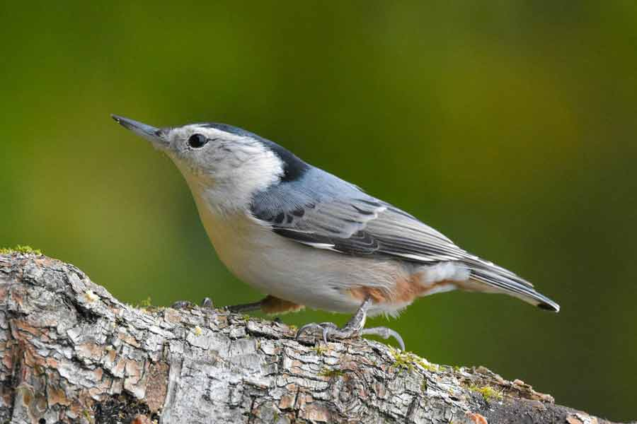 White-breasted Nuthatch – Song | Range | Habitat | Diet | Nest | Facts