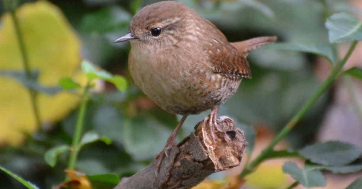 Winter Wren – Call | Range | Sound | Habitat | Facts | Ecology