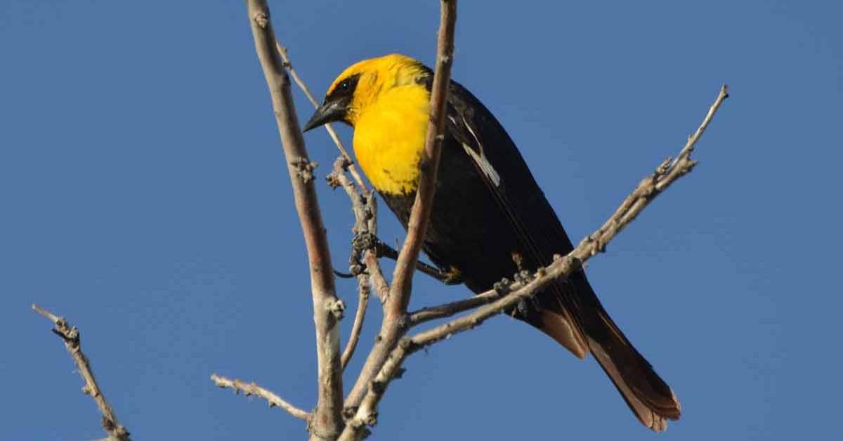 Yellow-headed Blackbird – Facts | Call | Range | Habitat | Migration