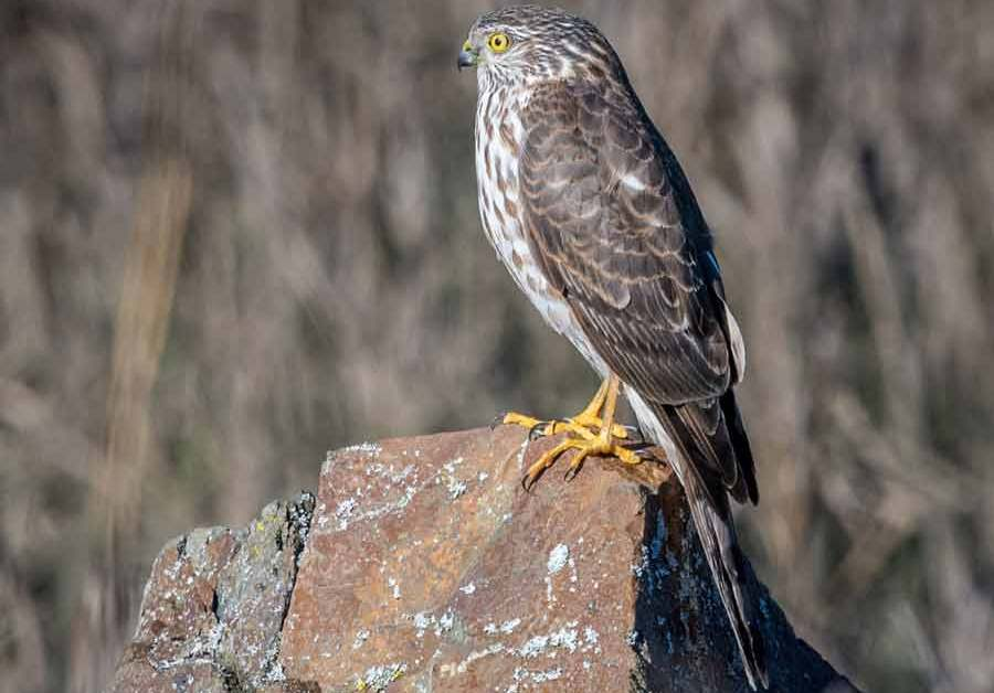 Sharp Shinned Hawk – Call | Size | Juvenile | Diet | Facts | Range