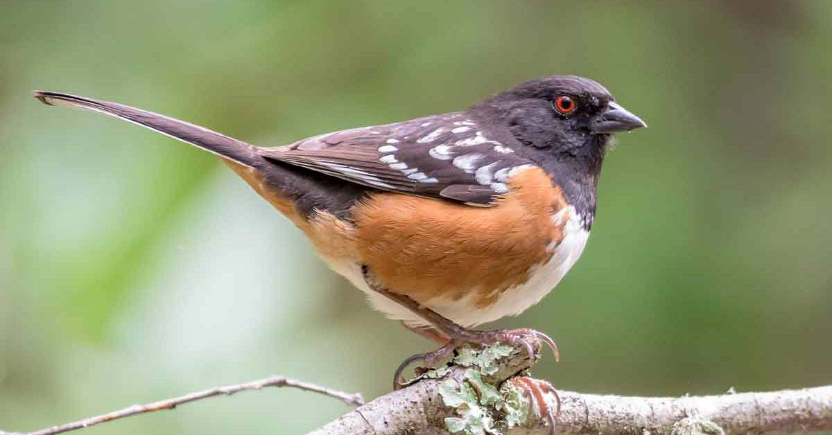 Spotted Towhee – Facts | Call | Female | Diet | Habitat | Sound