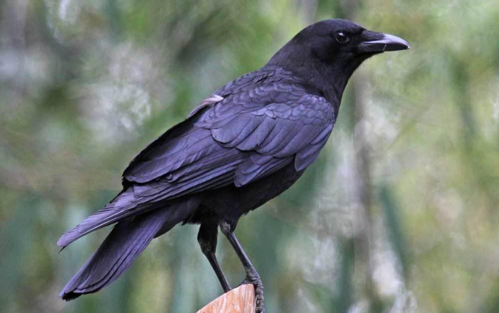American Crow – Profile | Facts | Eggs | Size | Beak | Fly | Feet