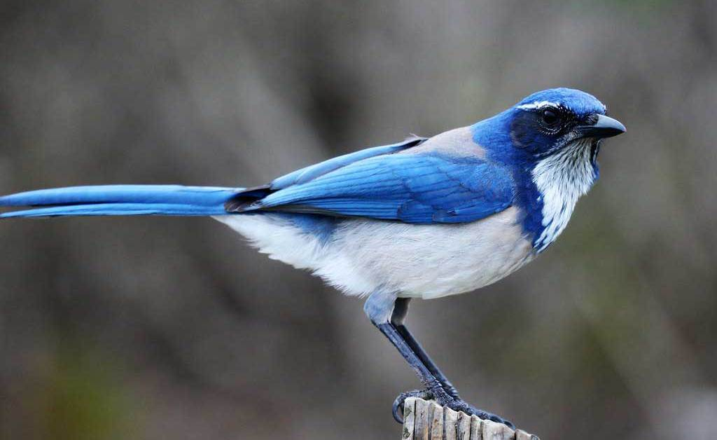 California Scrub Jay – Profile | Facts | Fly | Size | Traits | Call