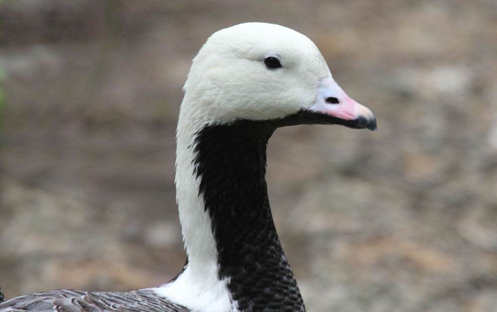 Emperor Goose – Profile | Migration | Range | Habitat | Coat