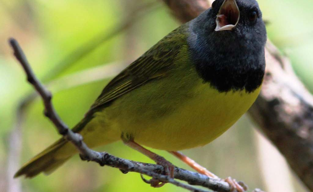 Mourning Warbler – Profile | Facts | Song | Traits | Habitat