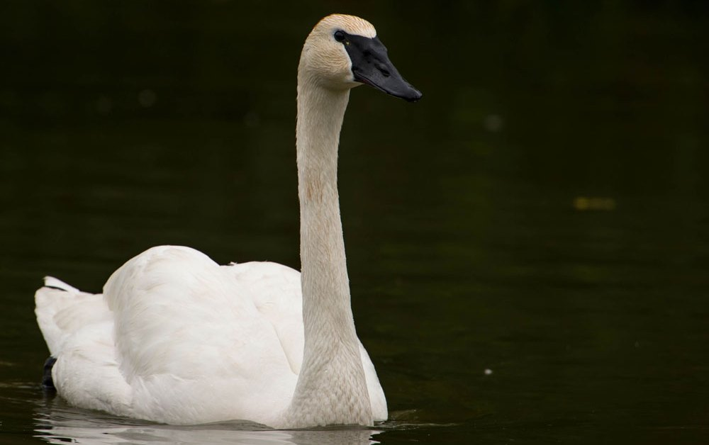 Trumpeter Swan – Profile | Facts | Size | Call | Eggs | Fly | Range