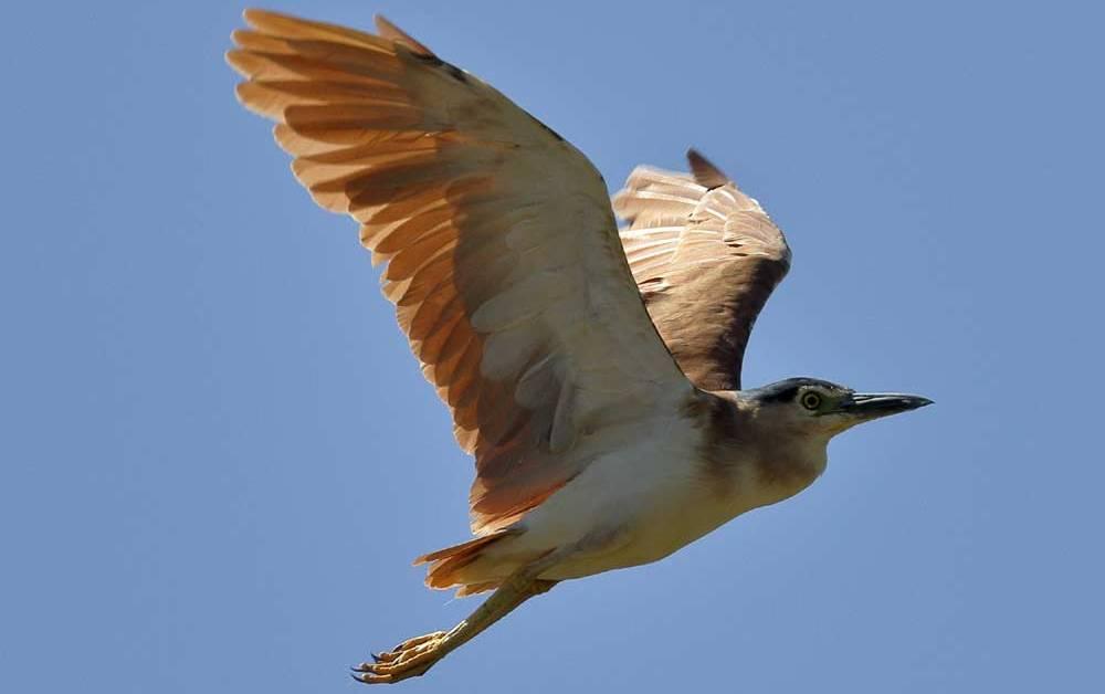 Nankeen Night Heron – Profile | Traits | Facts | Diet | Breeding