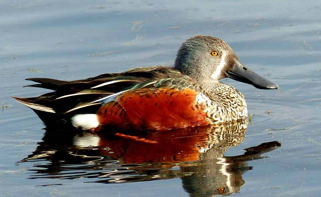 Red Shoveler – Profile | Traits | Facts | Call | Diet | Breeding