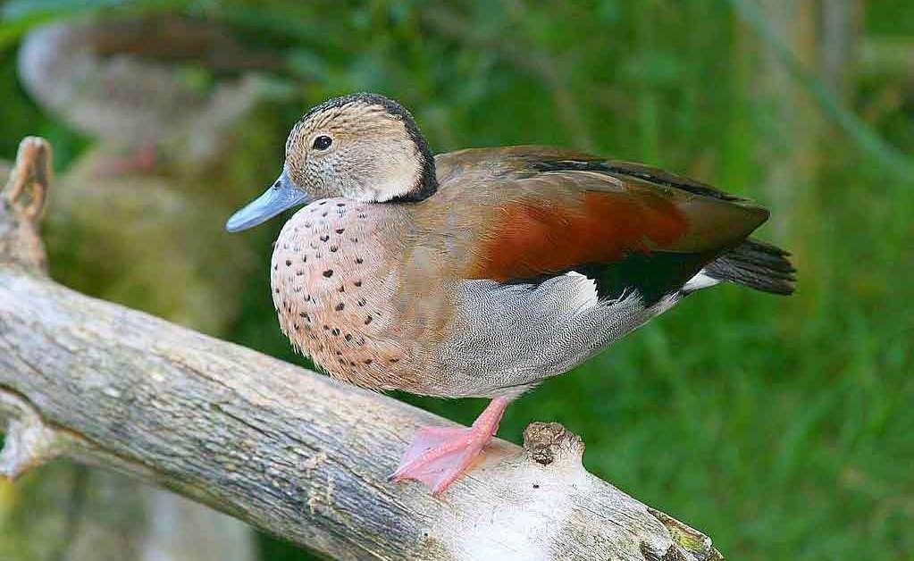 Ringed Teal – Profile | Traits | Facts | Habitat | Diet | Breeding