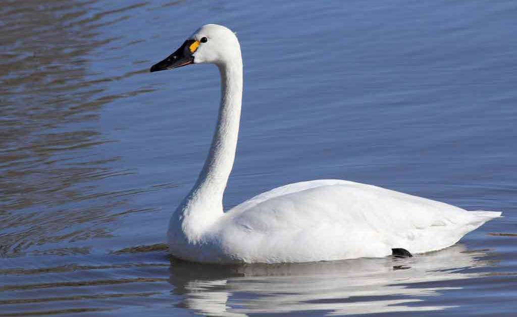 Tundra Swan – Profile | Traits | Facts | Call | Diet | Breeding