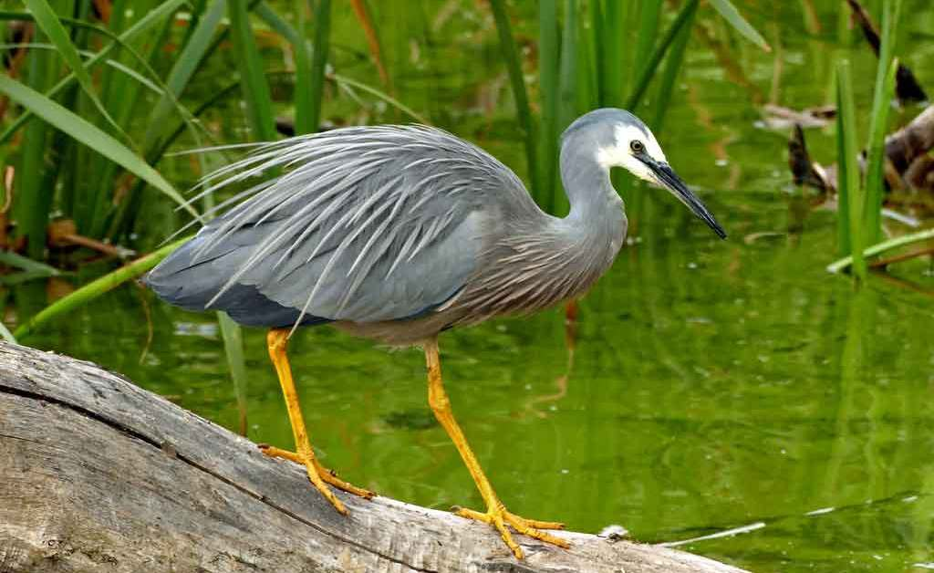 White-Faced Heron – Profile | Traits | Facts | Call | Diet | Breeding